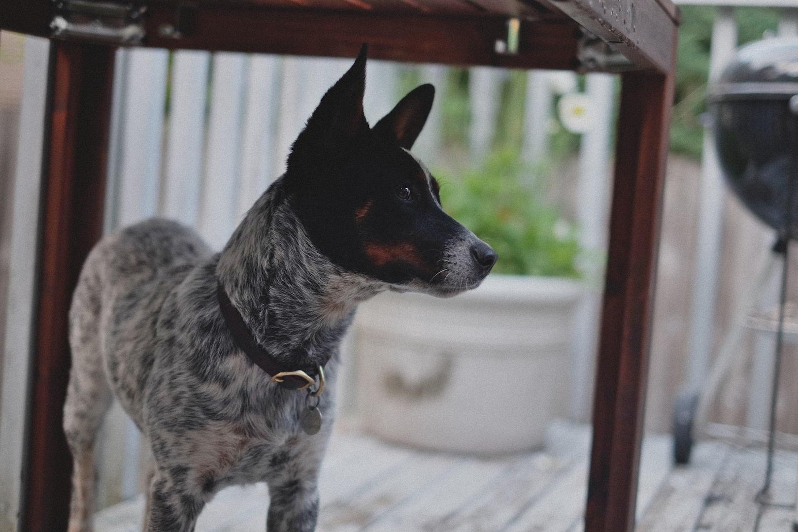 Seattle, WA, Olives, dogs